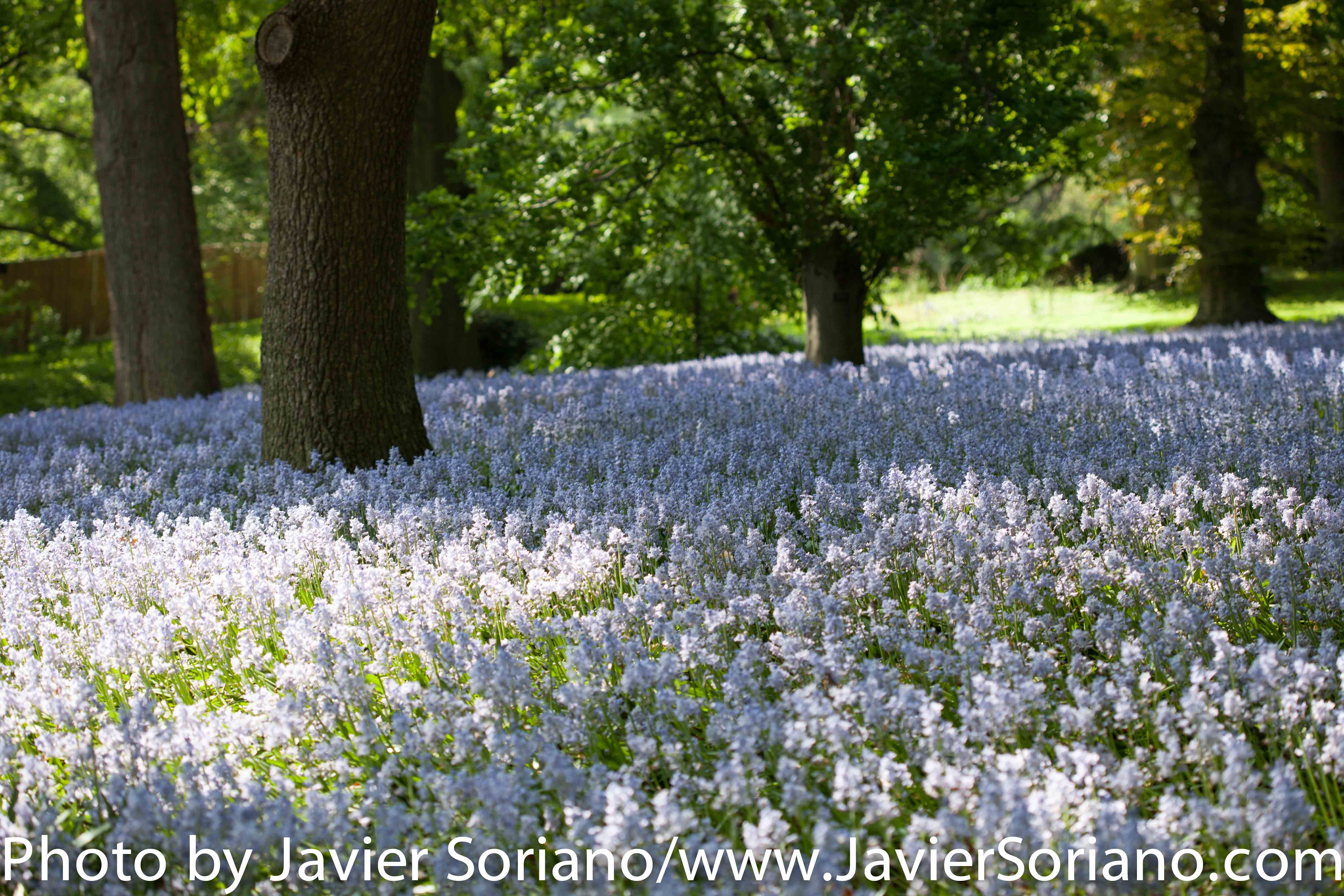 May 19, 2015. New York City – It is Spring in NYC and there are many flowers at the Brooklyn Botanic Garden. It is beautiful! Photo by Javier Soriano/http://www.JavierSoriano.com/