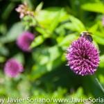 Tuesday July 7, 2015. Brooklyn, New York City - A bee and flowers at the Brooklyn Botanic Garden.  Martes 7 de julio de 2015. Brooklyn, ciudad de Nueva York - Abeja y flores en el Jardín Botánico de Brooklyn.  Photo by Javier Soriano/www.JavierSoriano.com