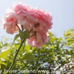 Tuesday, July 7, 2015. Brooklyn, New York City - Roses at the Brooklyn Botanic Garden.  Martes 7 de julio de 2015. Brooklyn, ciudad de Nueva York - Rosas en el Jardín Botánico de Brooklyn.  Photo by Javier Soriano/www.JavierSoriano.com