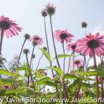 Tuesday July 7, 2015. Brooklyn, New York City - Flowers at the Brooklyn Botanic Garden.  Martes 7 de julio de 2015. Brooklyn, ciudad de Nueva York - Flores en el Jardín Botánico de Brooklyn.  Photo by Javier Soriano/www.JavierSoriano.com
