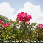 7/7/2015 NYC - Flowers at the Brooklyn Botanic Garden. Flores en el Jardín Botánico de Brooklyn. Photo by Javier Soriano/http://www.JavierSoriano.com/