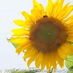 Tuesday July 7, 2015. Brooklyn, New York City - Sunflower at the Brooklyn Botanic Garden.  Martes 7 de julio de 2015. Brooklyn, ciudad de Nueva York - Girasol en el Jardín Botánico de Brooklyn.  Photo by Javier Soriano/www.JavierSoriano.com