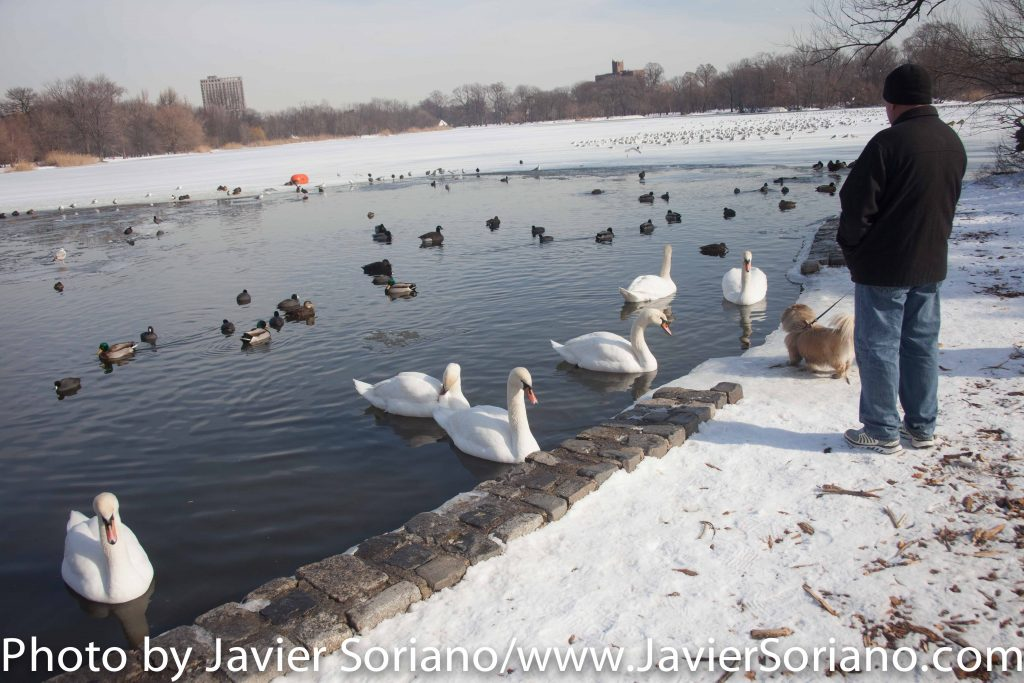 1/25/2016 NYC - We got snow on 1/23/2016. Today is a beautiful day. I love swans, ducks, Canada geese and other birds. Photo by Javier Soriano/www.JavierSoriano.com
