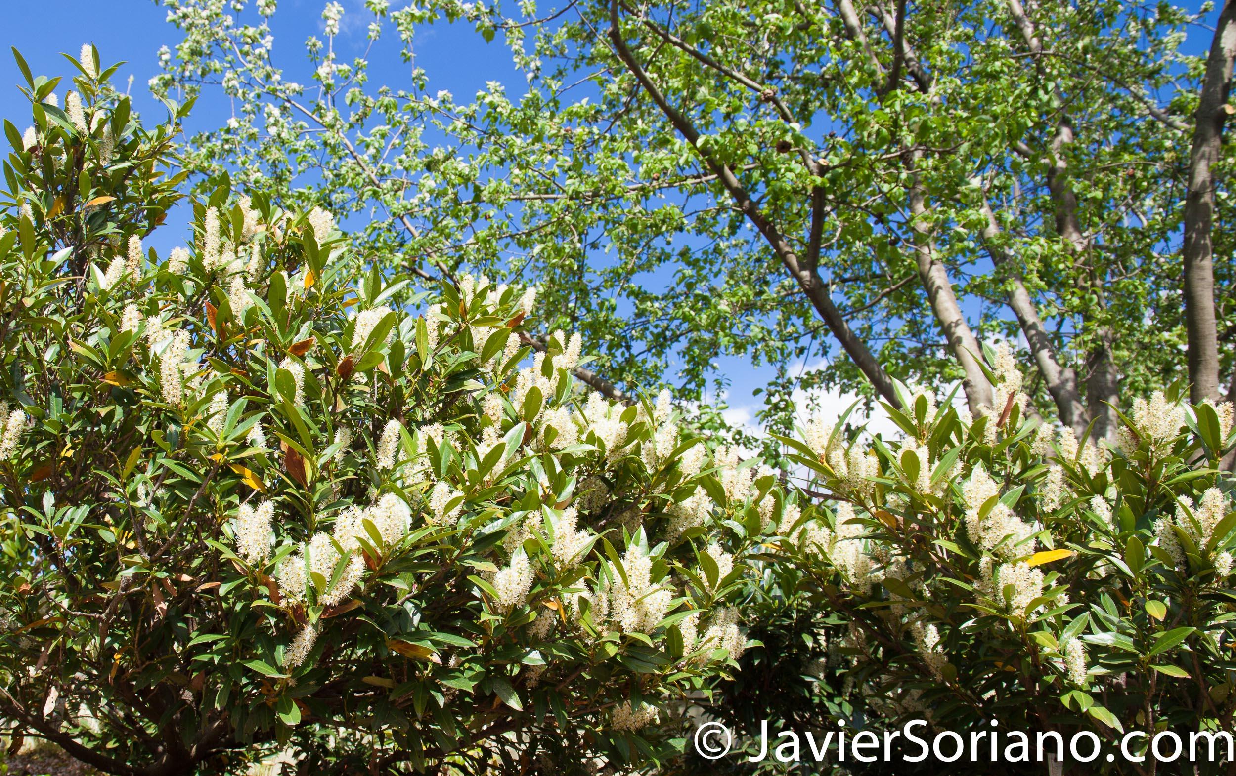 May 2, 2017 NYC - Brooklyn Botanic Garden/Jardín Botánico de Brooklyn. Photo by Javier Soriano/www.JavierSoriano.com