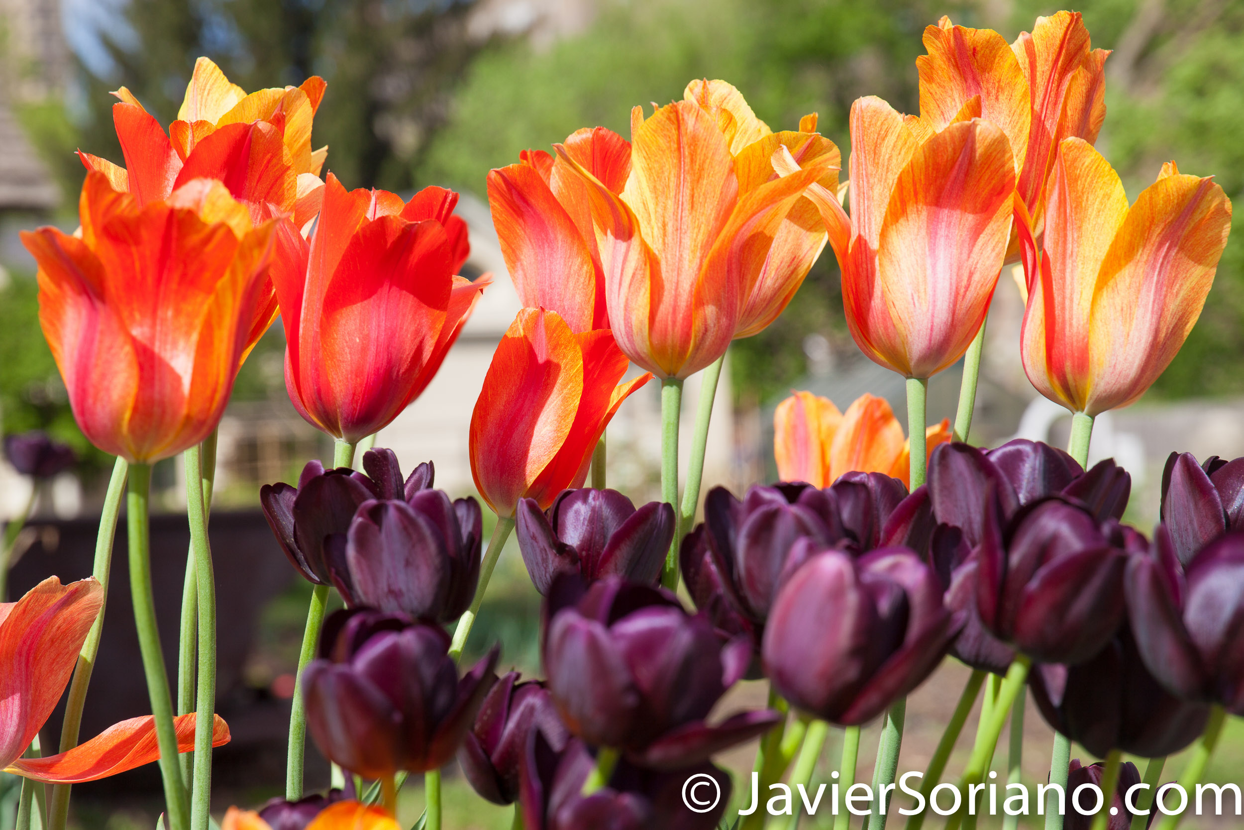 May 2, 2017 NYC - Beautiful tulips at the Brooklyn Botanic Garden/Hermosos tulipanes en el Jardín Botánico de Brooklyn. Photo by Javier Soriano/www.JavierSoriano.com