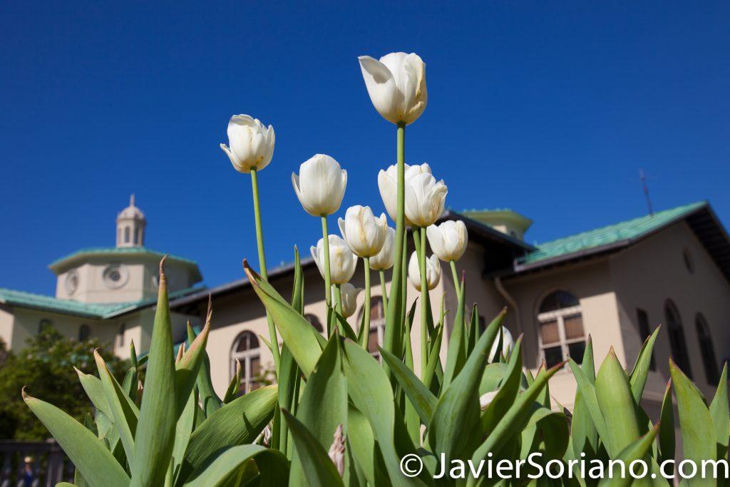May 2, 2017 NYC - Beautiful tulips at the Brooklyn Botanic Garden/Hermosos tulipanes en el Jardín Botánico de Brooklyn. Photo by Javier Soriano/www.JavierSoriano.com