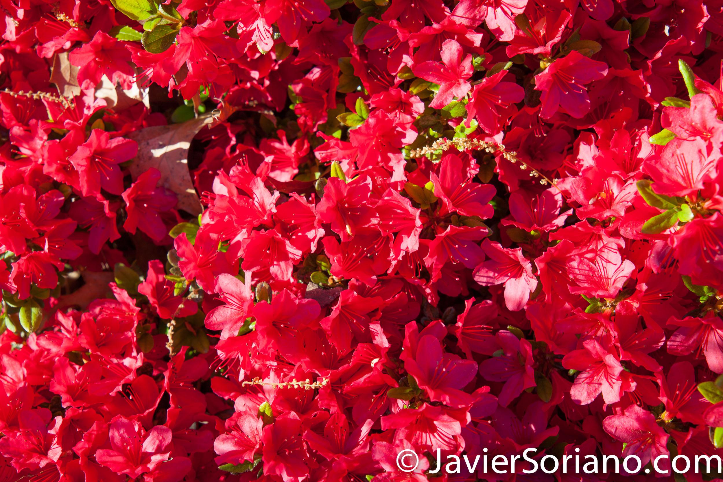 May 2, 2017 NYC - Beautiful azalea flowers at the Brooklyn Botanic Garden. Hermosas flores de azalea en el Jardín Botánico de Brooklyn. Photo by Javier Soriano/www.JavierSoriano.com