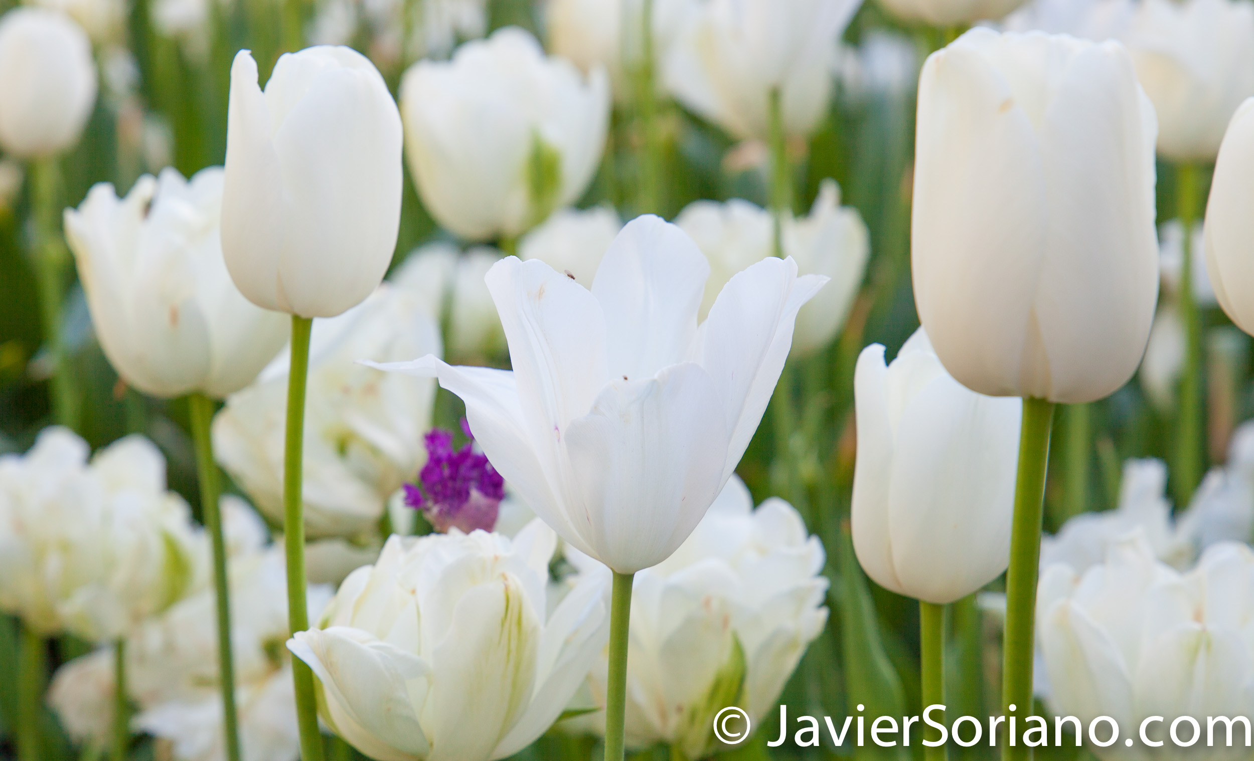 May 2, 2017 NYC - Beautiful white tulips at the Brooklyn Botanic Garden/Hermosos tulipanes blancos en el Jardín Botánico de Brooklyn. Photo by Javier Soriano/www.JavierSoriano.com