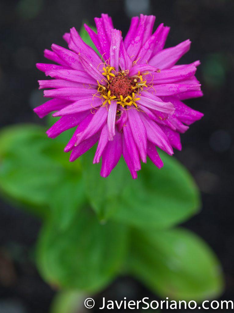 6/6/2017 NYC – Beautiful flower at the Brooklyn Botanic Garden. Hermosa flor en el Jardín Botánico de Brooklyn. Photo by Javier Soriano/www.JavierSoriano.com