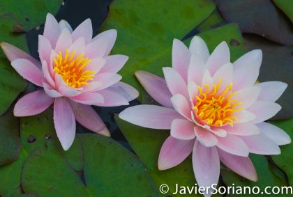 6/6/2017 NYC – Water lilies at the Brooklyn Botanic Garden. Nenúfares en el Jardín Botánico de Brooklyn. Photo by Javier Soriano/www.JavierSoriano.com