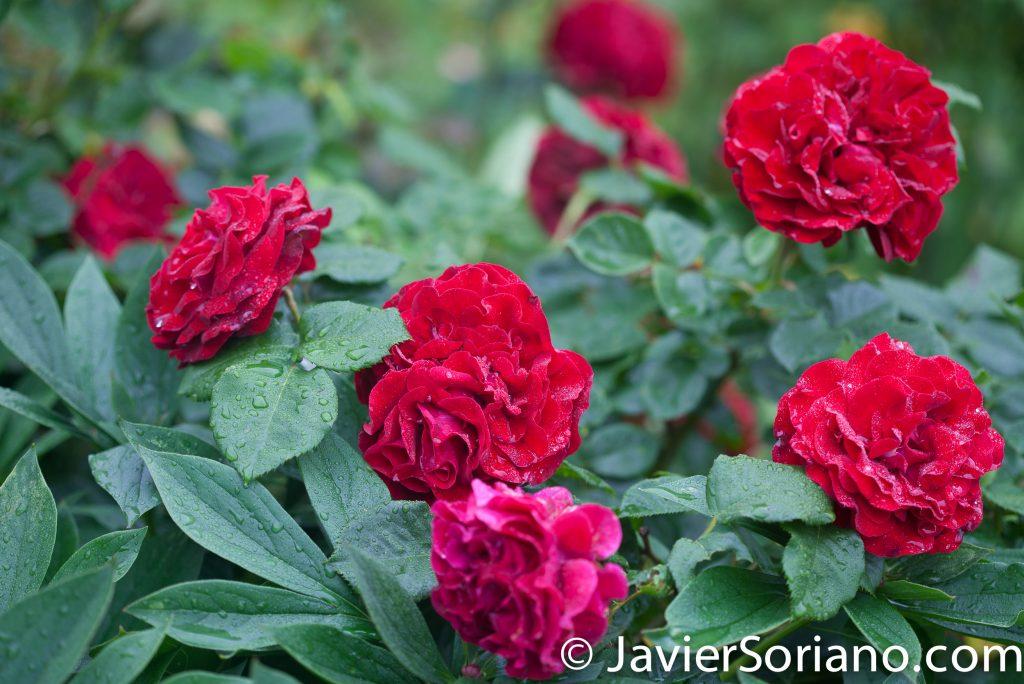 6/6/2017 NYC – Beautiful red roses at the Brooklyn Botanic Garden. Hermosas rosas rojas en el Jardín Botánico de Brooklyn. Photo by Javier Soriano/www.JavierSoriano.com