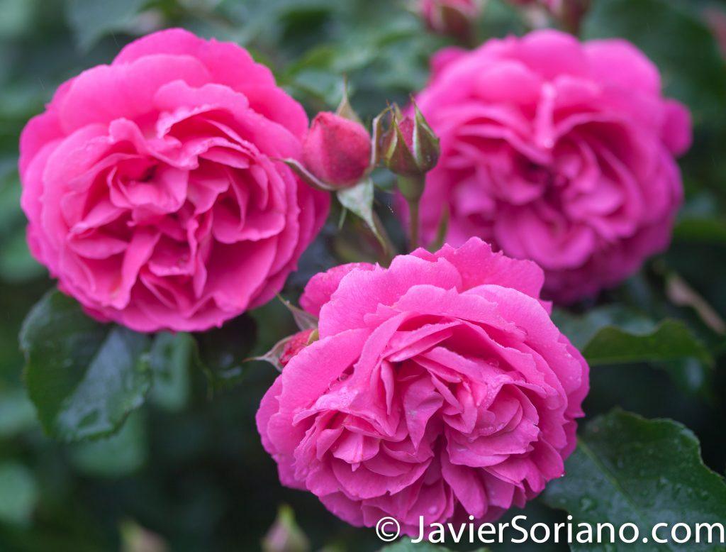 6/6/2017 NYC – Beautiful pink roses at the Brooklyn Botanic Garden. Hermosas rosas rosadas en el Jardín Botánico de Brooklyn. Photo by Javier Soriano/www.JavierSoriano.com