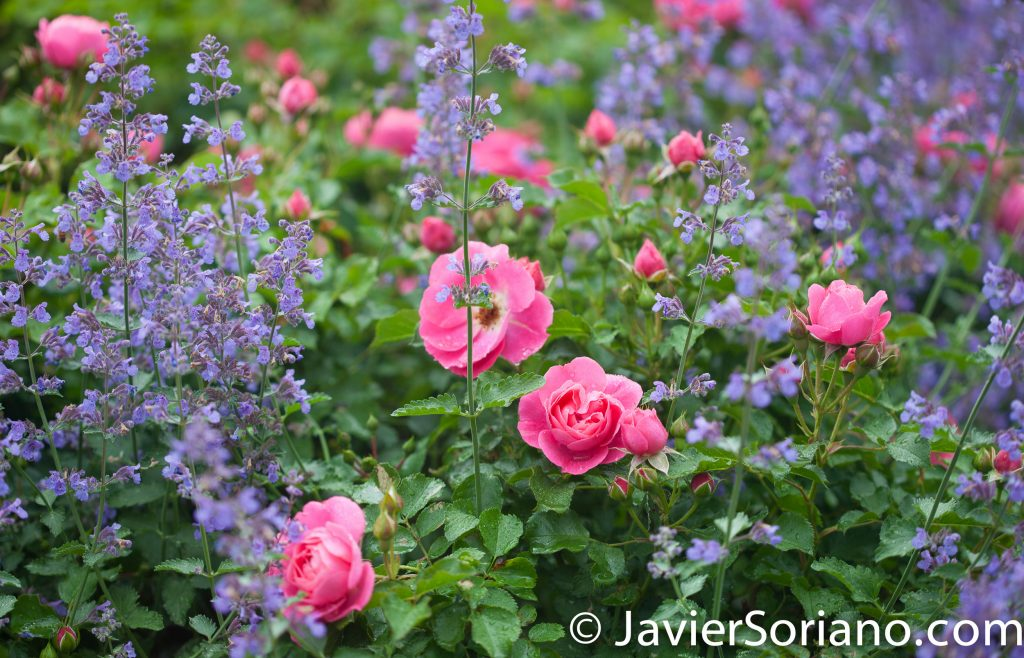6/6/2017 NYC – Beautiful flowers at the Brooklyn Botanic Garden. Hermosas flores en el Jardín Botánico de Brooklyn. Photo by Javier Soriano/www.JavierSoriano.com