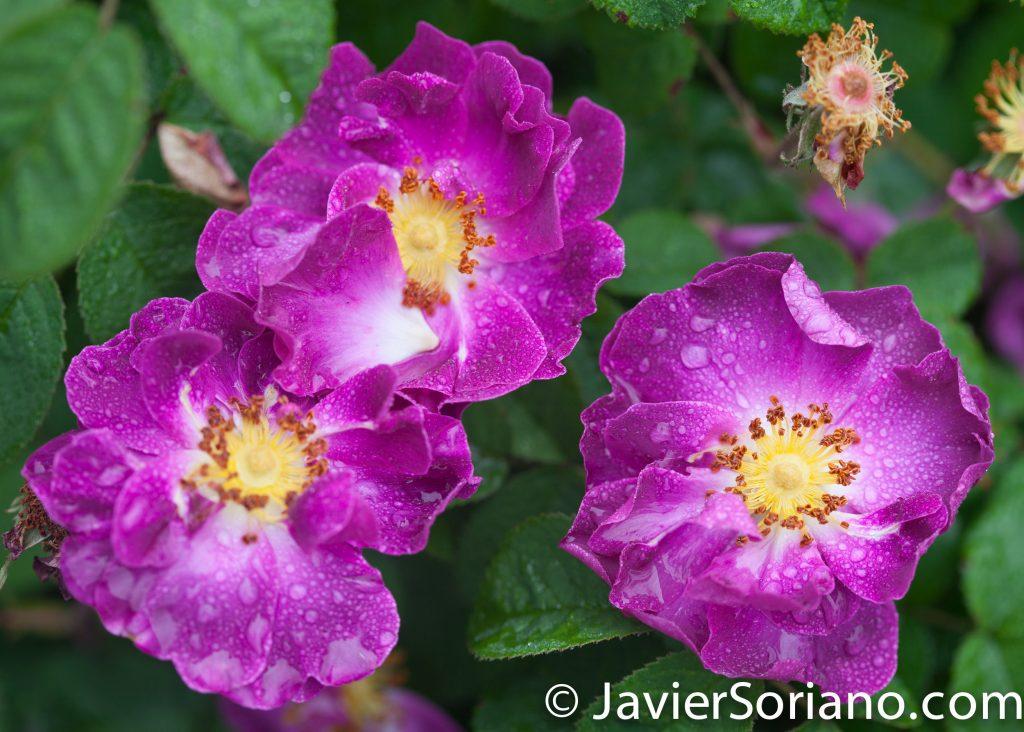 6/6/2017 NYC – Beautiful purple roses at the Brooklyn Botanic Garden. Hermosas rosas moradas en el Jardín Botánico de Brooklyn. Photo by Javier Soriano/www.JavierSoriano.com