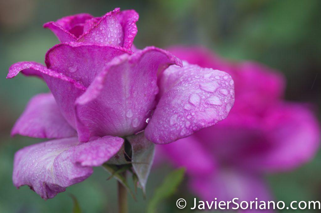 6/6/2017 NYC – Beautiful purple rose at the Brooklyn Botanic Garden. Hermosa rosa morada en el Jardín Botánico de Brooklyn. Photo by Javier Soriano/www.JavierSoriano.com