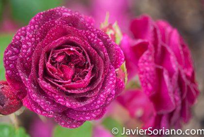 6/6/2017 NYC – Beautiful roses at the Brooklyn Botanic Garden. Hermosas rosas en el Jardín Botánico de Brooklyn. Photo by Javier Soriano/www.JavierSoriano.com