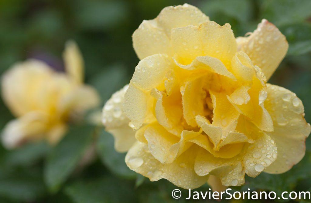 6/6/2017 NYC – A gorgeous yellow rose at the Brooklyn Botanic Garden. Hermosa rosa amarilla en el Jardín Botánico de Brooklyn. Photo by Javier Soriano/www.JavierSoriano.com