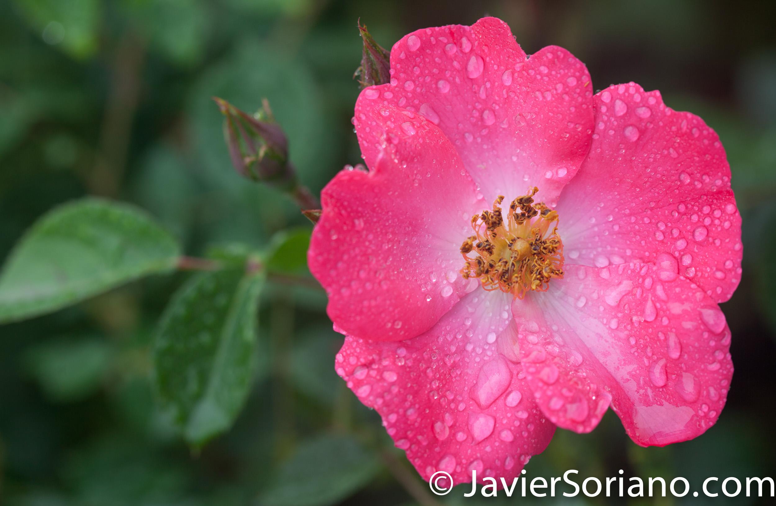 6/6/2017 NYC – A pink rose at the Brooklyn Botanic Garden. Rosa rosada en el Jardín Botánico de Brooklyn. Photo by Javier Soriano/www.JavierSoriano.com