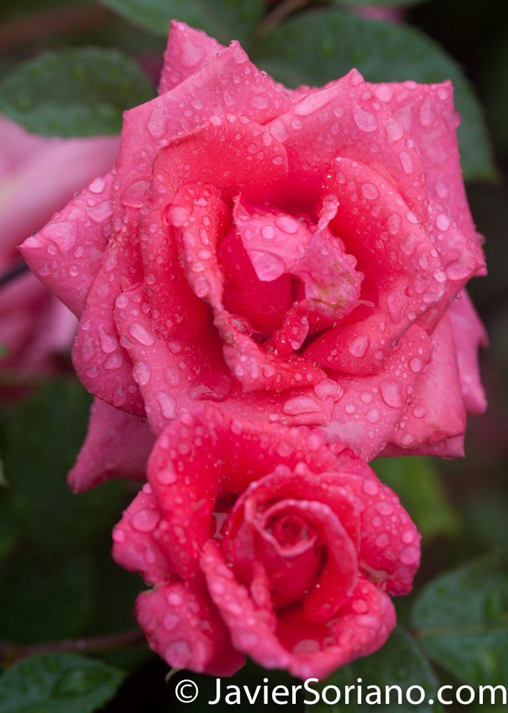 6/6/2017 NYC – Gorgeous pink roses at the Brooklyn Botanic Garden. Hermosas rosas rosadas en el Jardín Botánico de Brooklyn. Photo by Javier Soriano/www.JavierSoriano.com