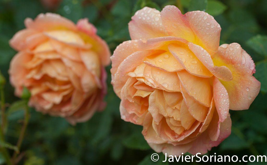 6/6/2017 NYC – Gorgeous orange roses at the Brooklyn Botanic Garden. Hermosas rosas color naranja en el Jardín Botánico de Brooklyn. Photo by Javier Soriano/www.JavierSoriano.com
