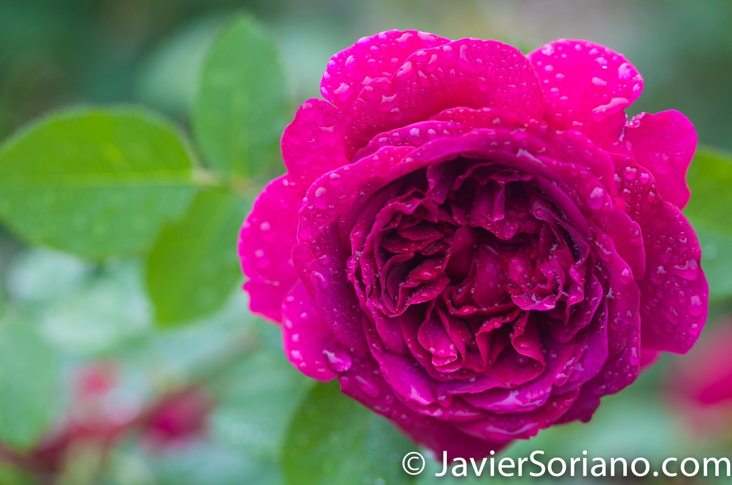6/6/2017 NYC – A gorgeous rose at the Brooklyn Botanic Garden. Hermosa rosa en el Jardín Botánico de Brooklyn. Photo by Javier Soriano/www.JavierSoriano.com
