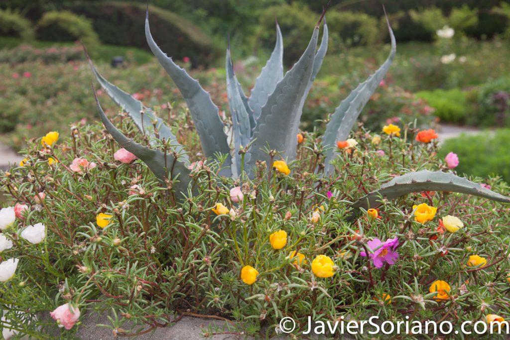 """25/7/2017 Nueva York – Flores """"amor de un rato"""" y cactus en el Jardín Botánico de Brooklyn. Foto por Javier Soriano/www.JavierSoriano.com"""