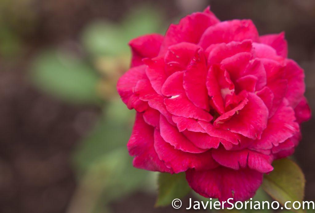 """25/7/2017 Nueva York – Rosa en el """"Jardín de Rosas de Cranford"""" en el Jardín Botánico de Brooklyn. Foto por Javier Soriano/www.JavierSoriano.com"""