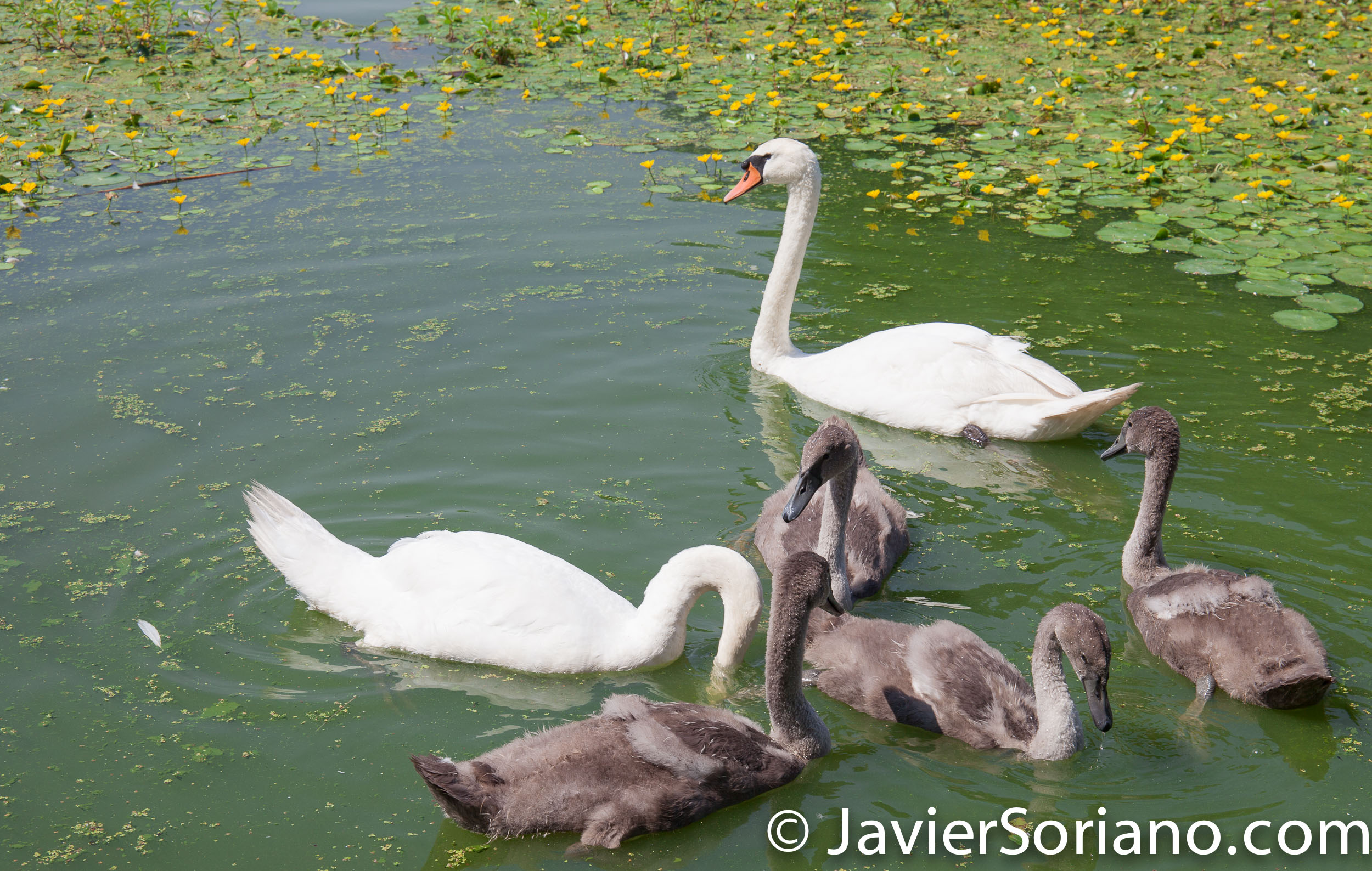 7/20/2017. Brooklyn, New York City. Swans with their babies in Prospect Park. It's a beautiful Summer day. Photo by Javier Soriano/www.JavierSoriano.com