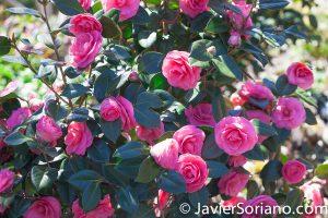 4/20/2018. New York City - Camellia Japonica Kumasaka. Brooklyn Botanic Garden. Abril 20, 2018. Ciudad de Nueva York - Jardín Botánico de Brooklyn. Photo by Javier Soriano / www.JavierSoriano.com