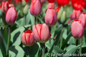 4/20/2018. New York City - Tulips. Brooklyn Botanic Garden. Abril 20, 2018. Ciudad de Nueva York - Tulipanes. Jardín Botánico de Brooklyn. Photo by Javier Soriano / www.JavierSoriano.com