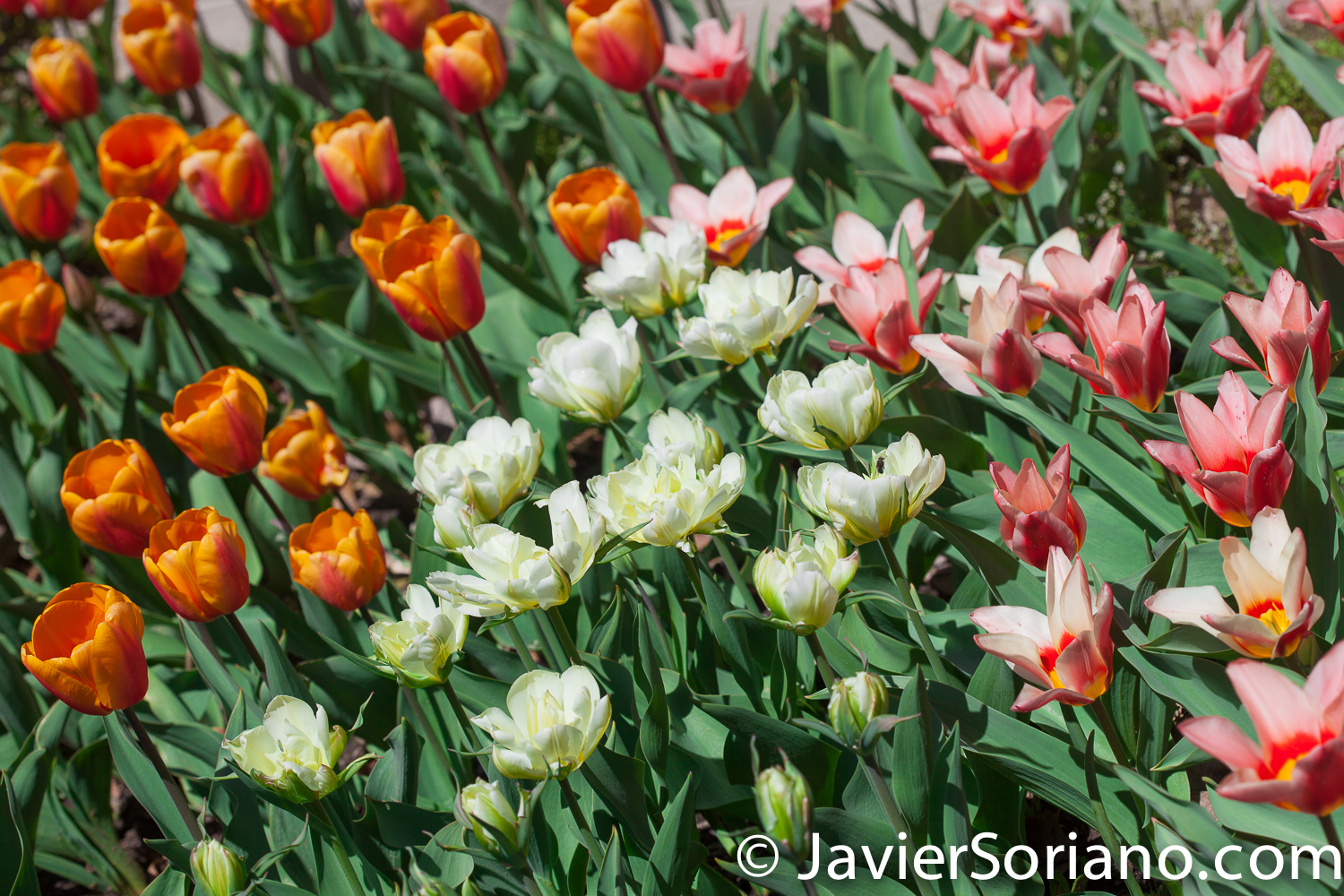 4/20/2018. New York City - Tulips. Brooklyn Botanic Garden. Abril 20, 2018. Ciudad de Nueva York - Tulipanes. Jardín Botánico de Brooklyn. Photo by Javier Soriano / www.JavierSoriano.com
