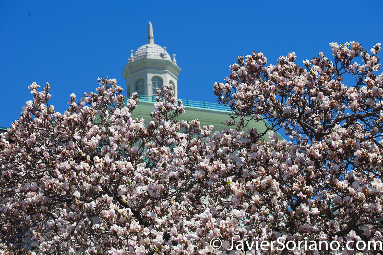 4/20/2018. New York City - Magnolias. Brooklyn Botanic Garden. Abril 20, 2018. Ciudad de Nueva York - Magnolias. Jardín Botánico de Brooklyn. Photo by Javier Soriano / www.JavierSoriano.com