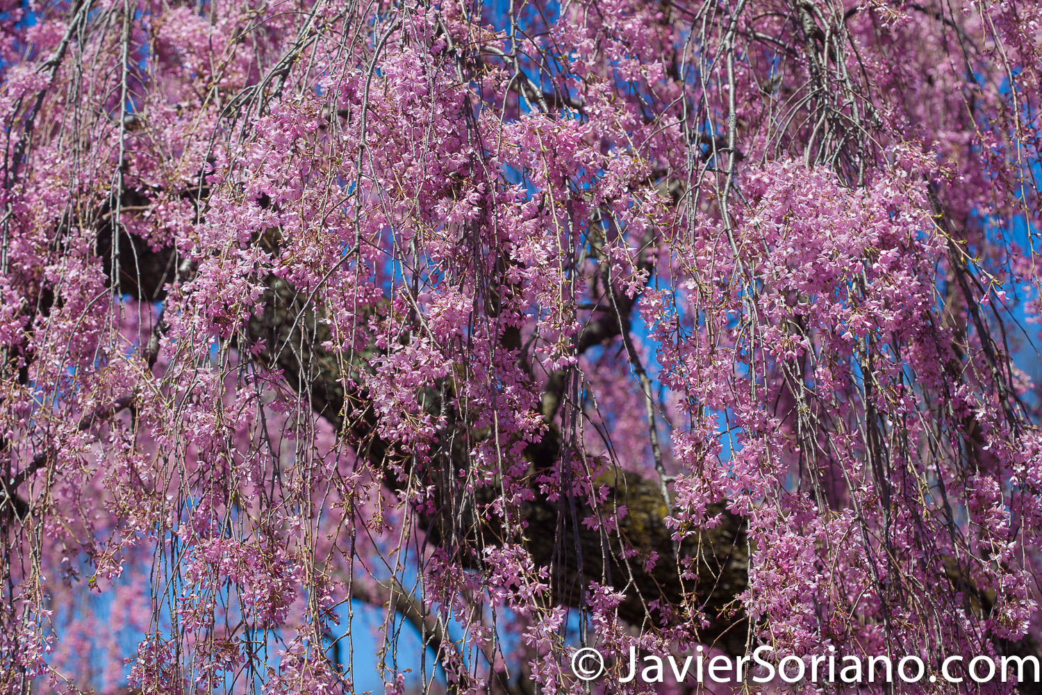 4/20/2018. New York City - Cherry blossoms. Brooklyn Botanic Garden. Abril 20, 2018. Ciudad de Nueva York - Flores de cerezo. Jardín Botánico de Brooklyn. Photo by Javier Soriano / www.JavierSoriano.com