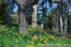 4/20/2018. New York City - Daffodil / Narcissus. Brooklyn Botanic Garden. Abril 20, 2018. Ciudad de Nueva York - Narcisos. Jardín Botánico de Brooklyn. Photo by Javier Soriano / www.JavierSoriano.com
