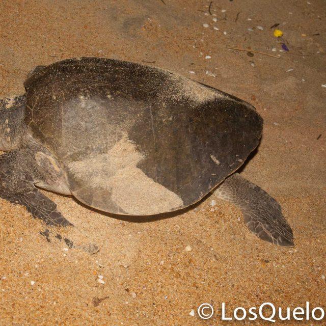 Tortuga golfina. Olive Ridley turtle.