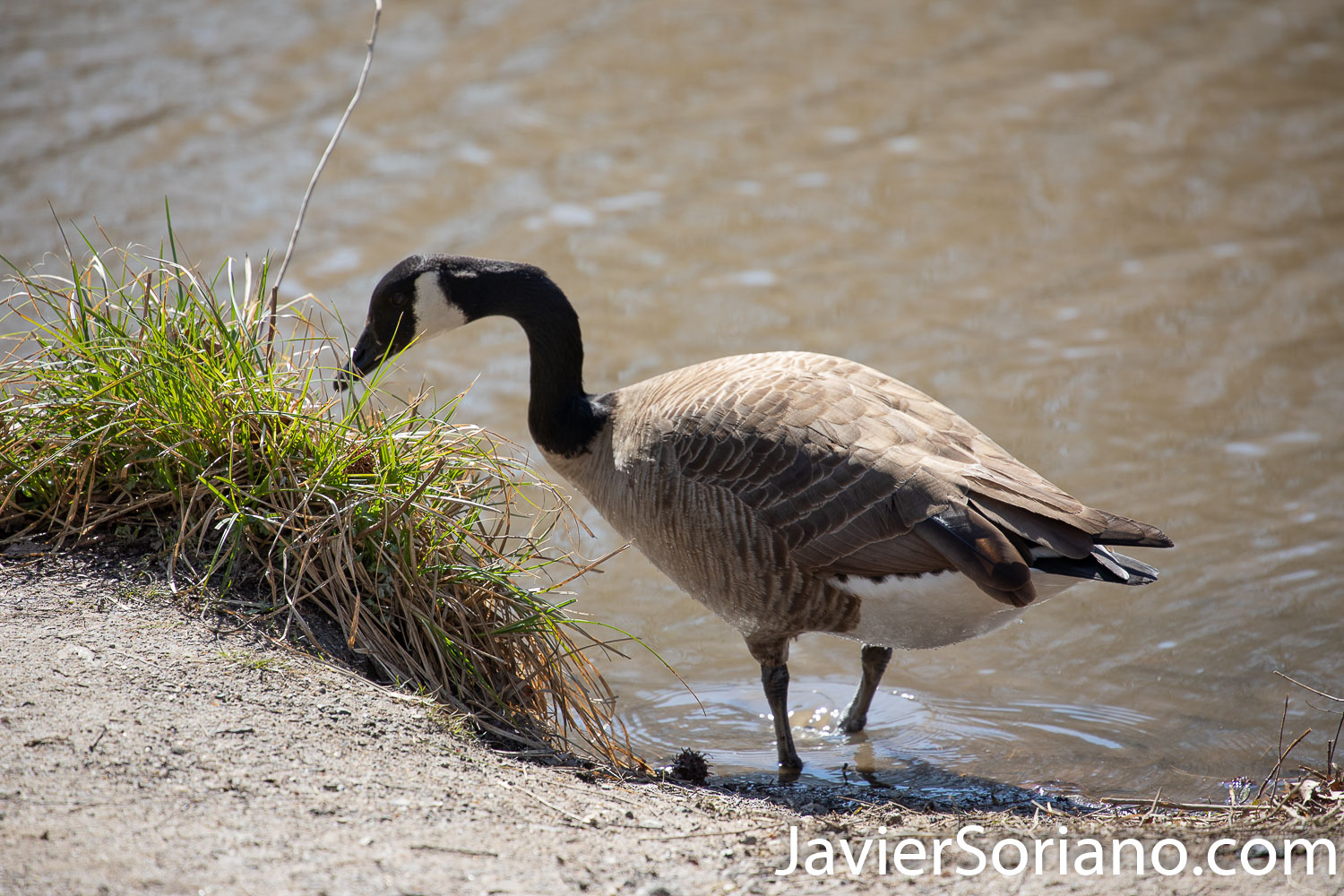 March 24, 2020. New York City - Canada goose eating. Photo by Javier Soriano/www.JavierSoriano.com