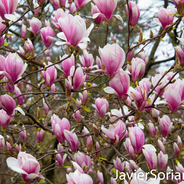 March 28, 2020. New York City - Magnolia flowers. Spring during the coronavirus pandemic in New York City. Photo by Javier Soriano/www.JavierSoriano.com