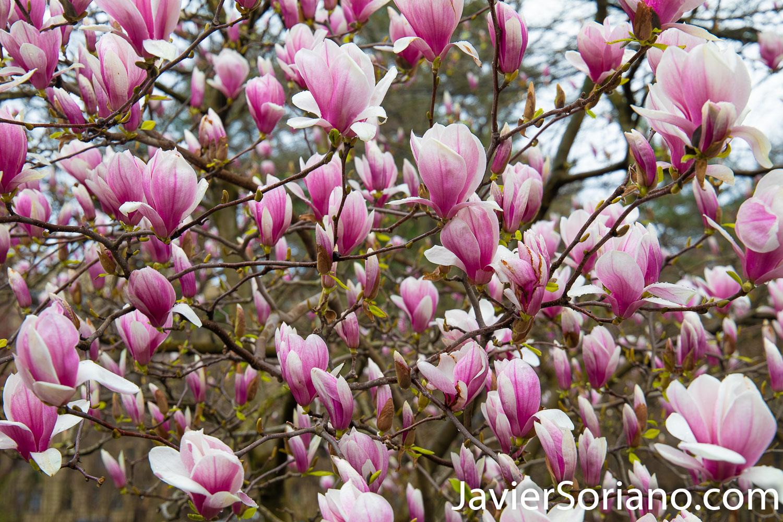 March 28, 2020. New York City - Magnolia flowers. Spring during the coronavirus pandemic in New York City. Photo by Javier Soriano/www.JavierSoriano.com