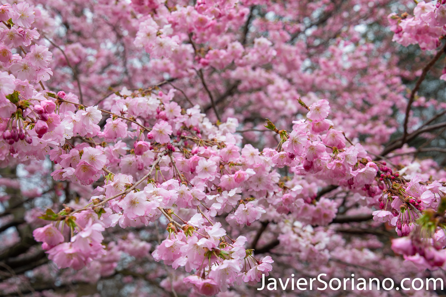 March 28, 2020. New York City - Cherry blossoms. Spring during the coronavirus pandemic in New York City. Photo by Javier Soriano/www.JavierSoriano.com