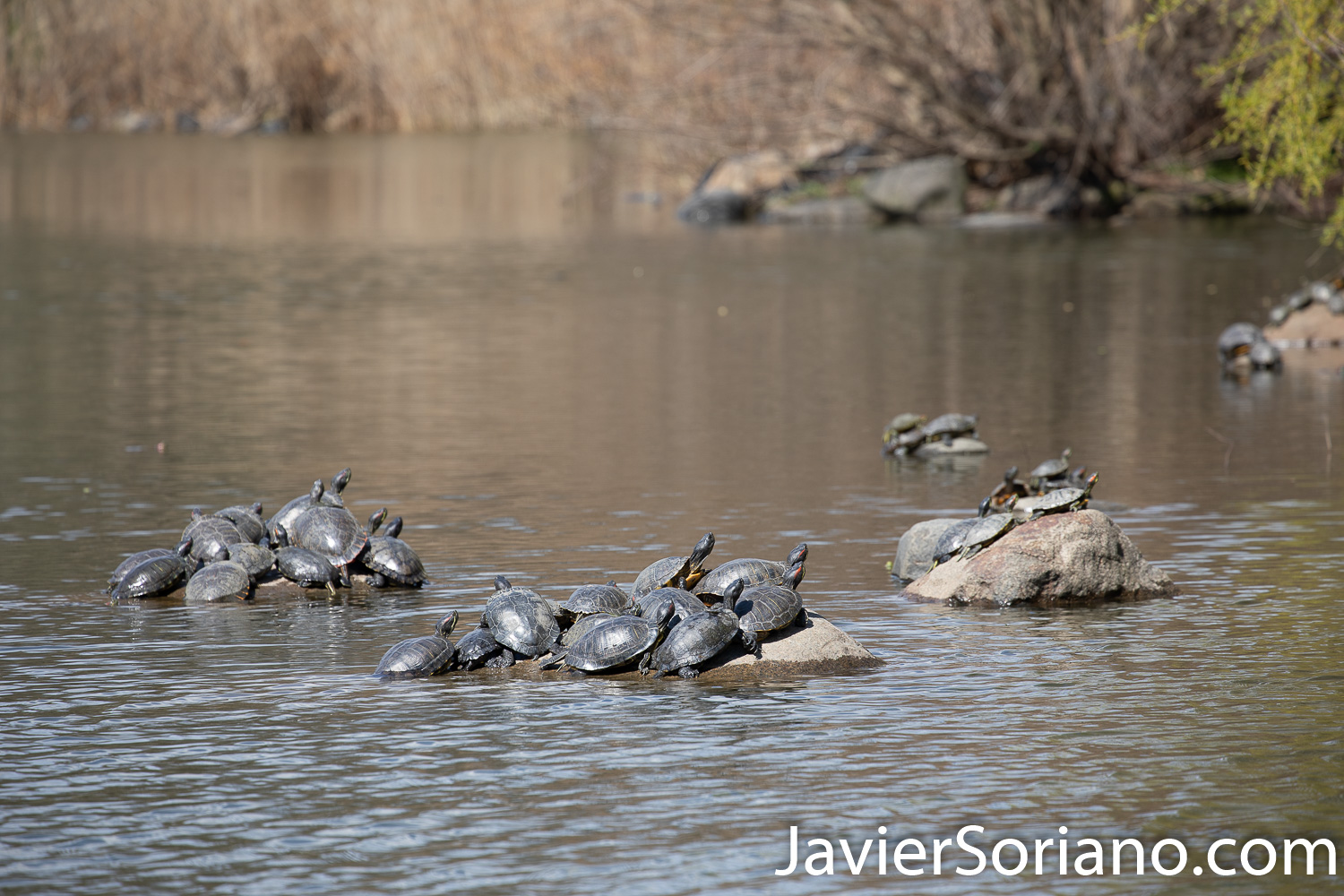 April 1, 2020. New York City - Turtles taking the sun. Spring during the coronavirus pandemic in New York City. Photo by Javier Soriano/www.JavierSoriano.com