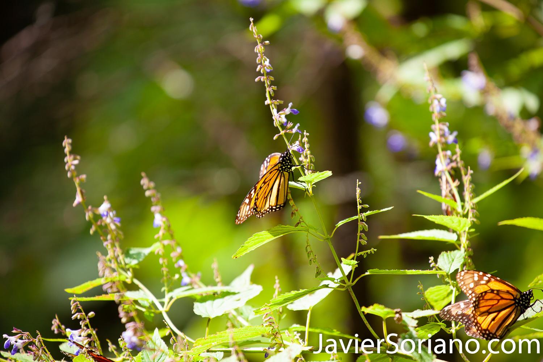 """Diciembre de 2018. Santuario de la Mariposa Monarca """"El Rosario"""". Michoacán, México. December 2018. """"El Rosario"""" monarch butterfly sanctuary. Michoacán, México. Foto por Javier Soriano/ JavierSoriano.com"""