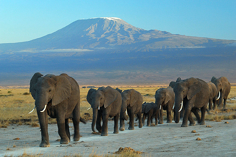 A family of African bush elephants: note the protected position of the calves in the middle of the group. Elephants at Amboseli National Park against Mount Kilimanjaro.  Photo by Amoghavarsha JS amoghavarsha.com.