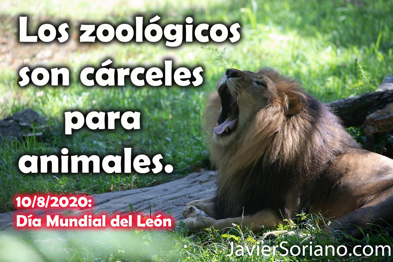 Lunes 10 de agosto de 2020: Día Mundial del León. Este león vive en cautiverio en un zoológico. Los zoológicos son cárceles para animales. Deja de asistir a zoológicos. Fotos por Javier Soriano/www.JavierSoriano.com