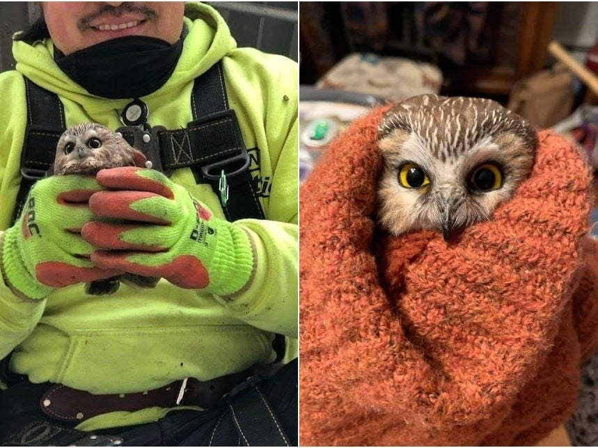The Sow-whet owl was spotted Monday, November 16, 2020, by Jason Ramos (left) within the Rockefeller Center Christmas Tree, and brought upstate to Ravenbeard Wildlife Center in Saugerties. (Photo courtesy of Ellen Kalish)