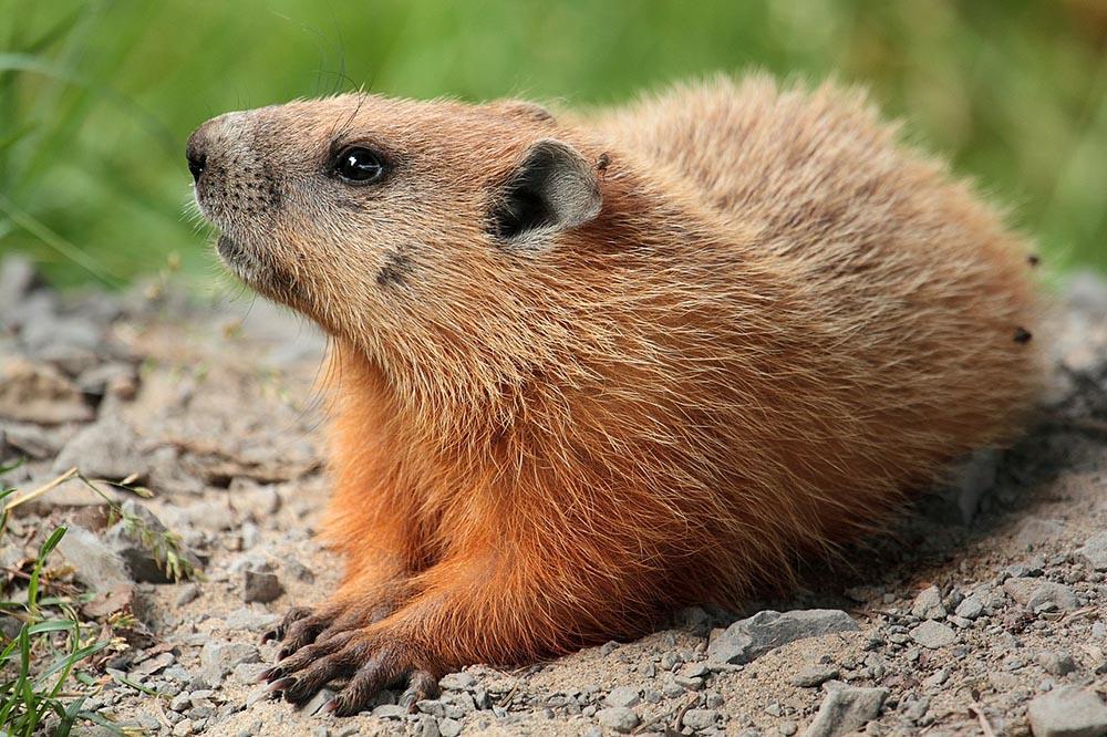 FOTO DE ARCHIVO Marmota en el campus de la Universidad Laval, Quebec, Canadá. Foto por Cephas / Wikipedia.org