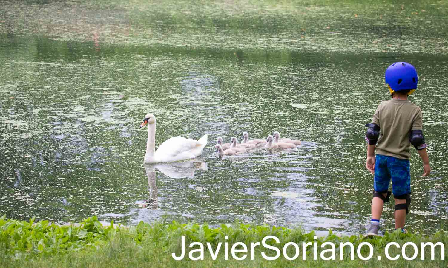 Wednesday, June 2, 2021. Prospect Park, Brooklyn; New York City – Mother swan with her 6 babies (cygnets) and a boy watching them.   Photo by Javier Soriano/www.JavierSoriano.com