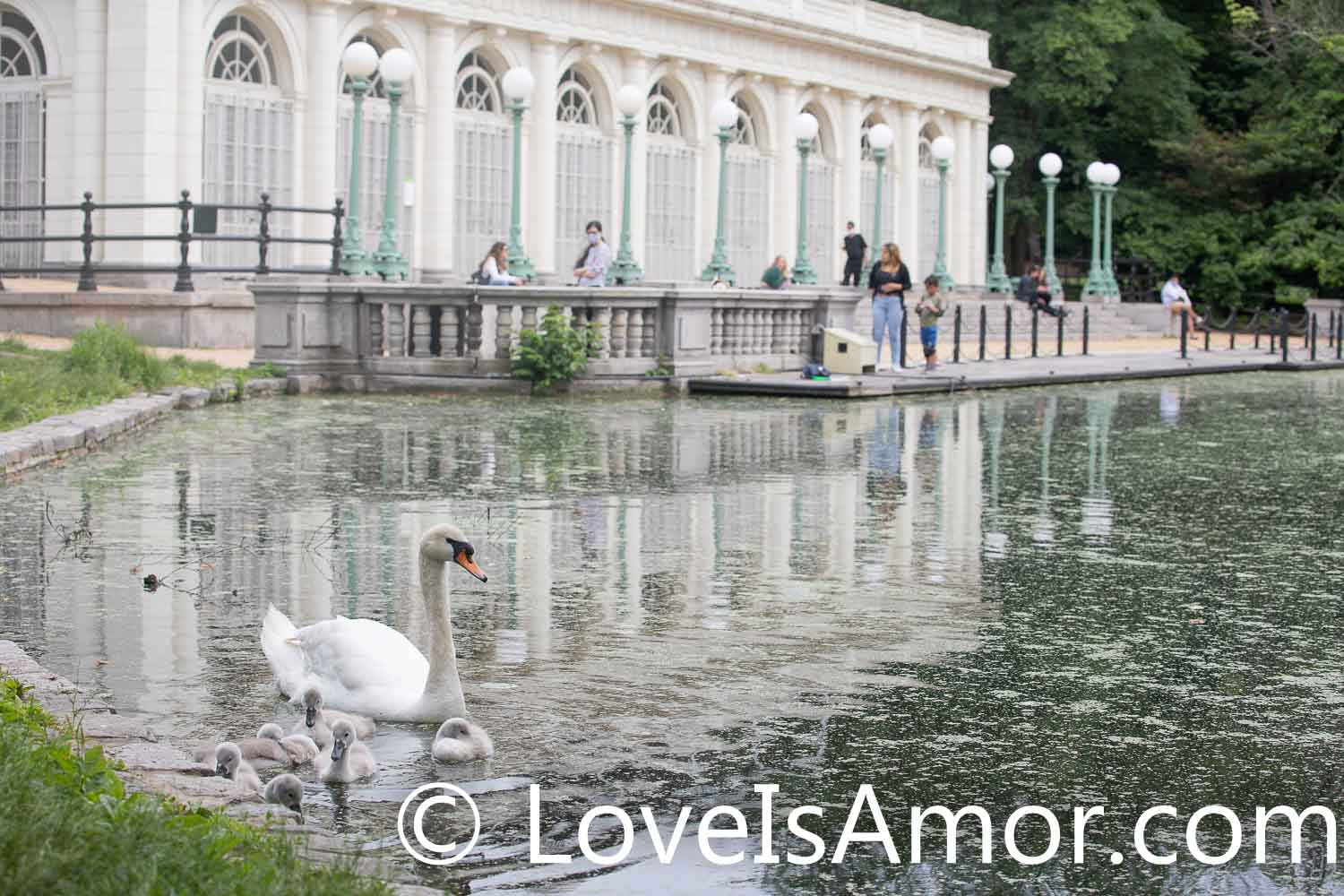 Wednesday, June 2, 2021. Prospect Park, Brooklyn; New York City – People at the Boathouse + Audubon Center watching the mother swan and her 6 babies (cygnets). Photo by Javier Soriano/www.JavierSoriano.com