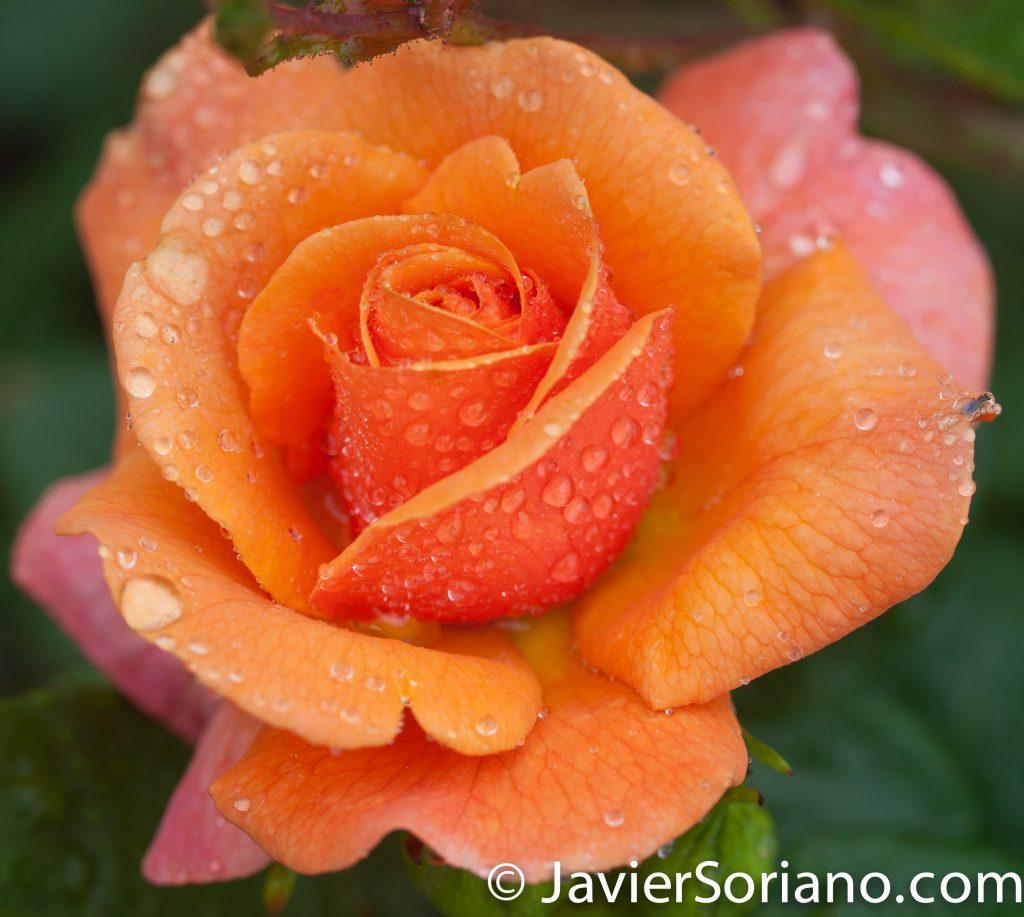 Martes 6 de junio de 2017. Brooklyn, ciudad de Nueva York – Hermosa rosa color naranja en el Jardín Botánico de Brooklyn. Foto por Javier Soriano/www.JavierSoriano.com
